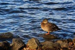 Утка отдыхая на утесе Стоковое Фото