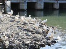 Утка отдыхая около озера стоковое фото rf