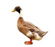 утка одичалая Стоковые Фото