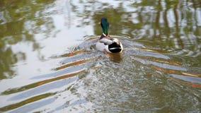 Утка плавает в воде видеоматериал