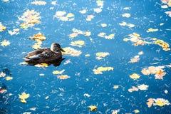 Утка плавает в открытом море с желтыми листьями стоковое изображение