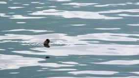 Утка плавает на воду акции видеоматериалы
