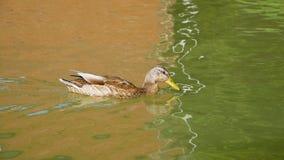 Утка плавает на озере и выпивает не чистую воду Дикие птицы закрывают вверх Фауна в окружающей среде сток-видео