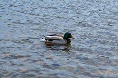 Утка плавая на реку стоковые фото