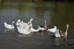 Утка приходит к воде реки Стоковая Фотография RF