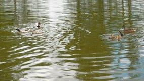 Утка при утята плавая в пруд Милая утка матери идет ее утята видеоматериал