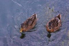 Утка птицы воды Стоковые Фотографии RF