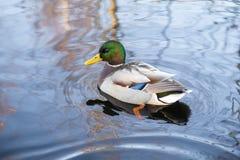 Утка плавает в озеро Стоковая Фотография