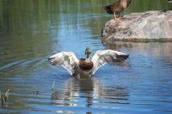 Утка распространяя его крыла Стоковые Фотографии RF