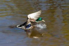 Утка сидит на воде Стоковое Изображение RF