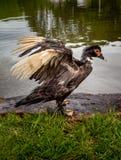 Утка со своими крыльями раскрыла стоковое изображение rf