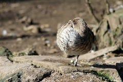 Утка спать стоя на одной ноге Стоковое Изображение