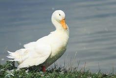 утка стоит на береге пруда и трясет пер и крыла Стоковые Изображения