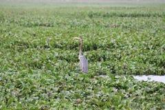 Утка с головой змейки Стоковые Изображения RF