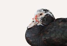 Утка с изолированный на белизне Стоковое Фото
