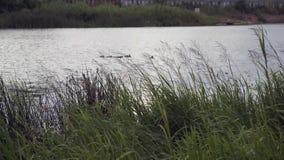 Утка с утятами плавает на реку видеоматериал