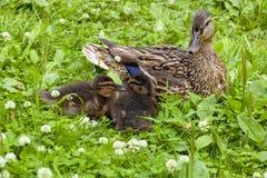 Утка с утятами среди травы Стоковые Изображения