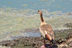 утка уродская Стоковая Фотография RF