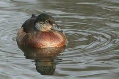 Утка утки или Каролины красивой одичалой перекрестной породы деревянной, sponsa AIX, женское заплывание на реке Стоковое Изображение RF