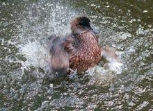 Утка чистки купая в брызгать воду Стоковые Фото