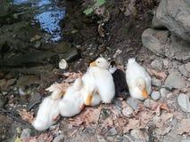 Утка щенка 7 зерен стоковое изображение rf
