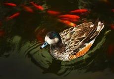 утка Стоковые Фото