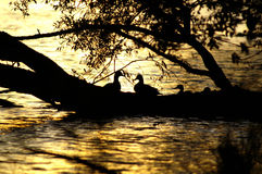 утка Стоковое Изображение RF