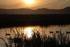 утка Стоковое Фото