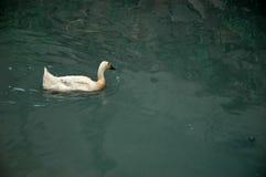 утка Стоковая Фотография