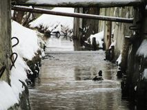 Утка стоковое фото rf