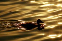 утка Стоковая Фотография RF