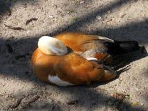 Утка angoras Знание природы Через глаза природы стоковое фото rf