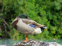 Утка angoras Знание природы Через глаза природы стоковое фото
