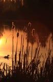утка cattails Стоковое Изображение