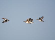 Утка Ferriginous на полете Стоковые Фото