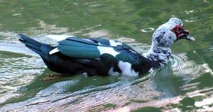 Утка muscovy дикой утки в птице Коста-Рика центральной американской Стоковое Изображение