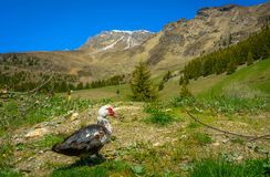 Утка Muscovy кочуя на траве Стоковое фото RF