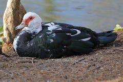 Утка muscovy на береге озера Стоковое Изображение