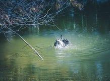 Утка Muscovy принимая ванну стоковое фото rf