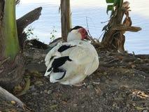 Утка Muscovy сидя около озера Стоковая Фотография