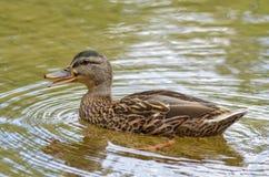 Утка Quacking в озере Стоковое Изображение