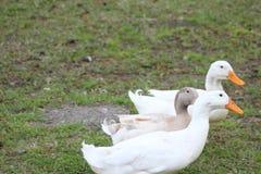 Утки 2 белые и один коричневый цвет Стоковые Фото