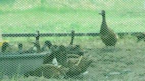 Утки Брауна в клетках сделанных ячеистой сети есть еду на траве видеоматериал