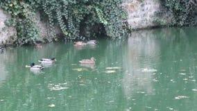 Утки в воде Город Neauphle le Château - Франция Стоковые Изображения RF