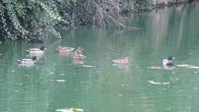 Утки в воде Город Neauphle le Château - Франция Стоковое Изображение