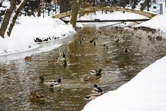 Утки в воде Заплыв уток в пруде стоковая фотография