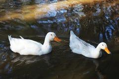 2 утки в воде ища еда Стоковое Фото