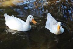 2 утки в воде ища еда Стоковые Изображения RF