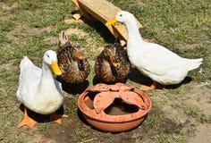 Утки в дворе цыплятины Стоковое Фото