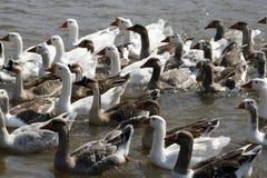 Утки в воде Стоковые Фото